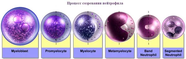 Процесс дифференцировки нейтрофила из миелобласта