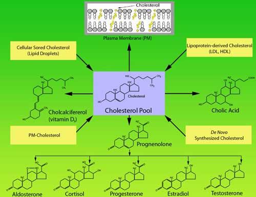Синтез гормонов и витамина Д из холестерина в организме человека