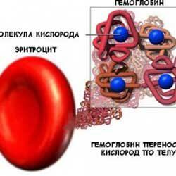 Строение и функции гемоглобина в организме человека
