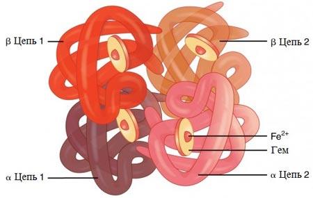 Структура белка глобина в составе гемоглобина