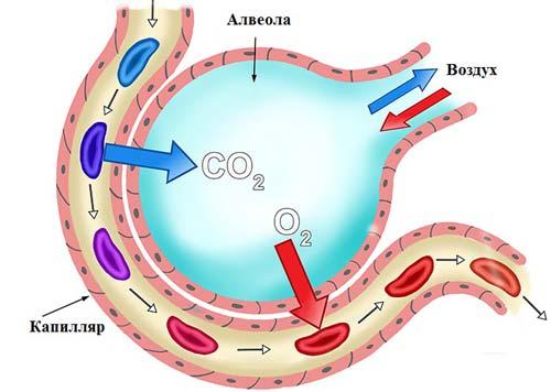 Присоединение кислорода к гемоглобину в капиллярах альвеол