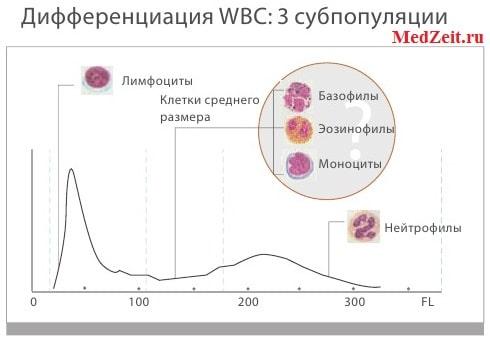 3 субпопуляции лейкоцитов в анализе крови