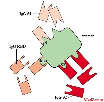 Антигены и антитела S1 S2 RBD SARS-CoV-2