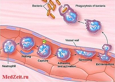 Диапедез лейкоцитов через сосудистую стенку