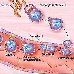 Что такое диапедез лейкоцитов