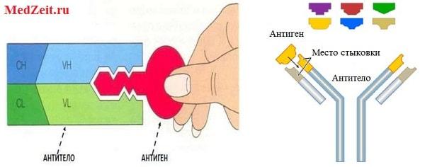 Стыковка Антиген-Антитело